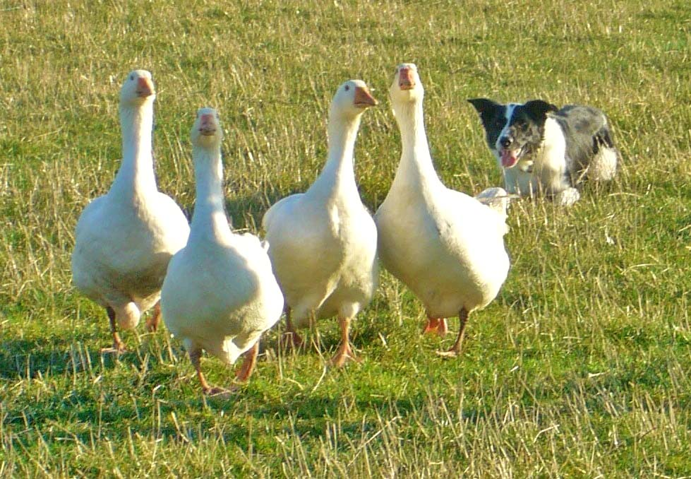 white geese being round up by a black and white sheep dog
